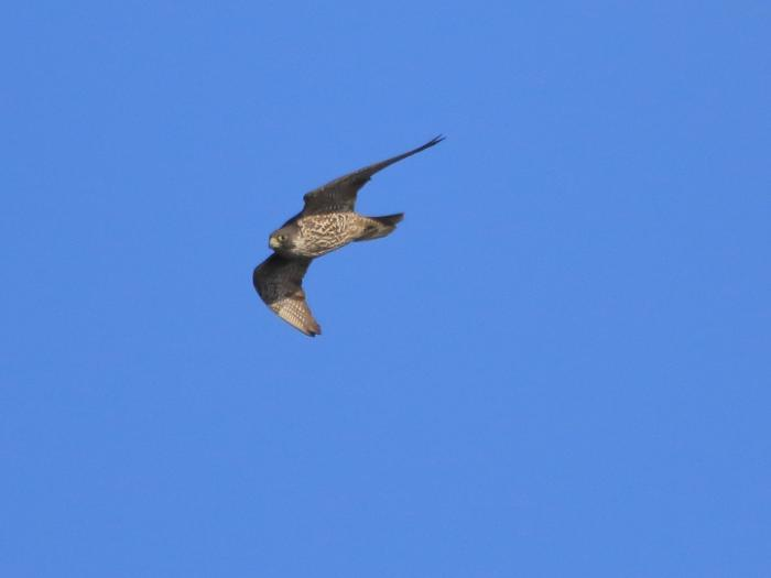 NN7A0530南港野鳥園 ハヤブサ_convert_20170114222710