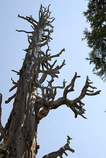 blog 24822 Tree, Lake Tahoe-8.11.07.jpg