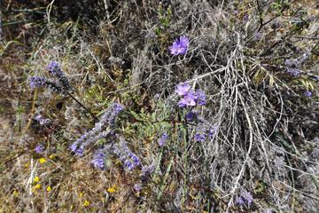 blog 6 Mojave to Death Valley, 395S Kramer Junction, Blue Dix & Phacelia, CA_DSC5663-4.3.16.jpg