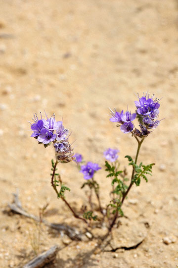 blog 6 Mojave to Death Valley, 395S Kramer Junction, Tansy Phacelia (Phacelia tanacetifolia), CA_DSC5675-4.3.16.jpg