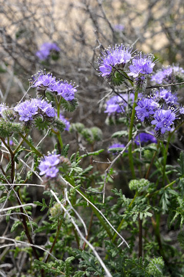 blog 6 Mojave to Death Valley, 395S Kramer Junction, Tansy Phacelia (Phacelia tanacetifolia), CA_DSC5685-4.3.16.jpg