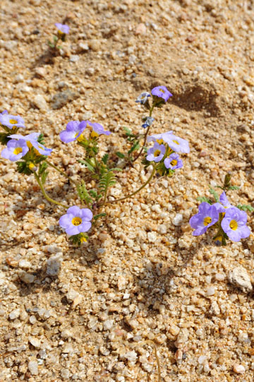 blog 6 Mojave to Death Valley, 395S Kramer Junction, Trumpet Phacelia (Phacelia bicolor) 2_DSC5733-4.3.16.jpg