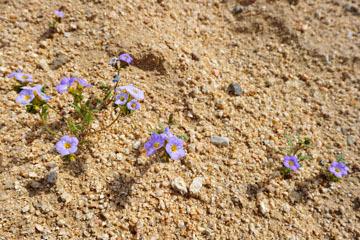 blog 6 Mojave to Death Valley, 395S Kramer Junction, Trumpet Phacelia (Phacelia bicolor)_DSC5732-4.3.16.jpg