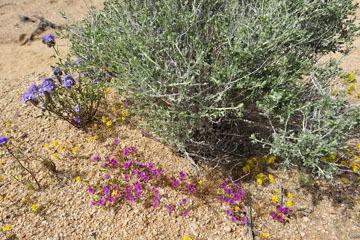 blog 6 Mojave to Death Valley, 395S Kramer Junction, Phacelia & Purple Mat_DSC5728-4.3.16.jpg