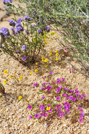 blog 6 Mojave to Death Valley, 395S Kramer Junction, Phacelia & Purple Mat 2_DSC5729-4.3.16.jpg