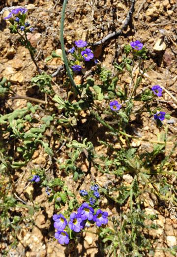 blog 7 Mojave to Death Valley, 395S Torona Rd, Frémont's phacelia (Phacelia fremontii), CA_DSC5893-4.4.16.(1).jpg