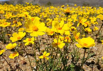 blog 7 Mojave to Death Valley, 395S Torona Rd, Bigelow Coreopsis (Coreopsis bigelovii), CA 2_DSC5890-4.4.16.(1).jpg