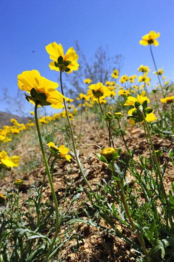 blog 7 Mojave to Death Valley, 395S Torona Rd, Bigelow Coreopsis (Coreopsis bigelovii), CA_DSC5892-4.4.16.(1).jpg