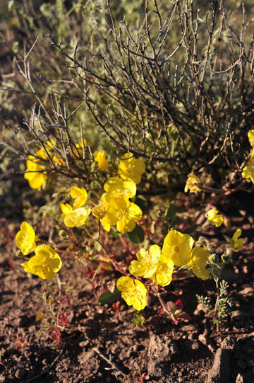 blog 8 Mojave to Death Valley, Death Valley, Beatty, NV, Yellow Evening Primrose