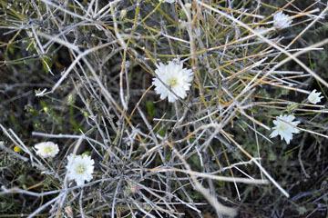 blog 8 Mojave to Death Valley, Death Valley, Beatty, NV, Desert Chicory_DSC1827-4.4.16.(2).jpg