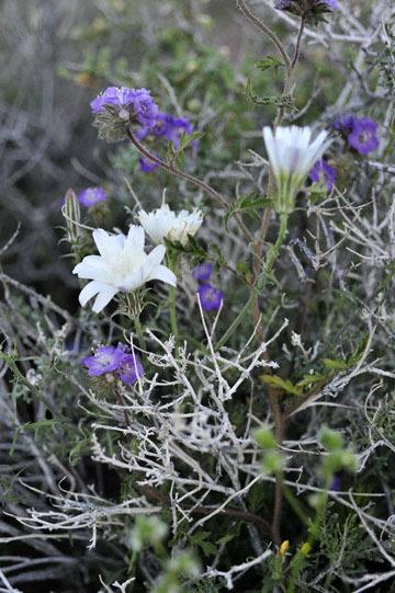blog 8 Mojave to Death Valley, Death Valley, Beatty, NV, Desert Chicory & Fremont Phacelia (Phacelia fremontii)_DSC1824-4.4.16.(2).jpg