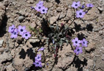 blog 9 Mojave to Death Valley, Death Valley, Gilia, Rd. 374 Beatty, NV_DSC1853-4.5.16.(1).jpg