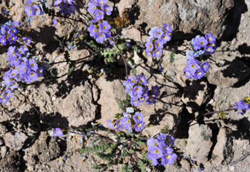 blog 9 Mojave to Death Valley, Death Valley, Twocolor Phacelia, Rd. 374 Beatty, NV_DSC1851-4.5.16.(1).jpg