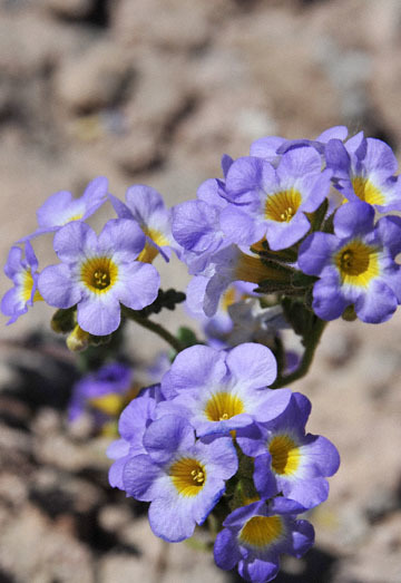 blog 9 Mojave to Death Valley, Death Valley, Twocolor Phacelia, Rd. 374 Beatty, NV 2_DSC1848-4.5.16.(1).jpg