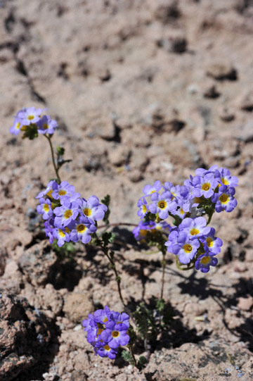 blog 9 Mojave to Death Valley, Death Valley, Twocolor Phacelia, Rd. 374 Beatty, NV_DSC1847-4.5.16.(1).jpg