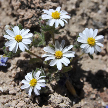 blog 9 Mojave to Death Valley, Death Valley, Wooly Daisy ?, Rd. 374 Beatty, NV 2_DSC1868-4.5.16.(1).jpg