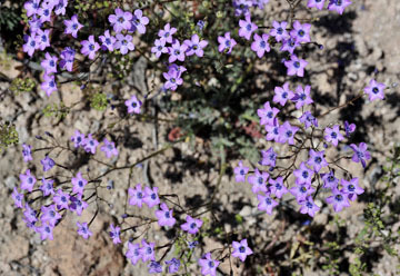 blog 9 Mojave to Death Valley, Death Valley, Gilia, Rd. 374 Beatty, NV 2_DSC1862-4.5.16.(1).jpg