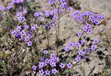 blog 9 Mojave to Death Valley, Death Valley, Gilia, Rd. 374 Beatty, NV_DSC1858-4.5.16.(1).jpg