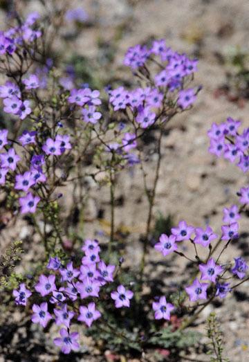 blog 9 Mojave to Death Valley, Death Valley, Gilia, Rd. 374 Beatty, NV 2_DSC1856-4.5.16.(1).jpg