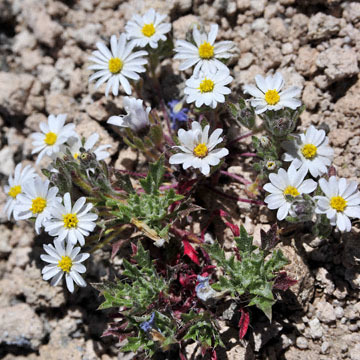 blog 9 Mojave to Death Valley, Death Valley, Wooly Daisy ?, Rd. 374 Beatty, NV 2_DSC1871-4.5.16.(1).jpg