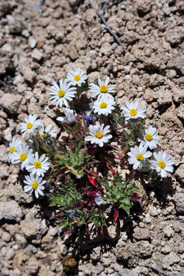 blog 9 Mojave to Death Valley, Death Valley, Wooly Daisy ?, Rd. 374 Beatty, NV_DSC1869-4.5.16.(1).jpg