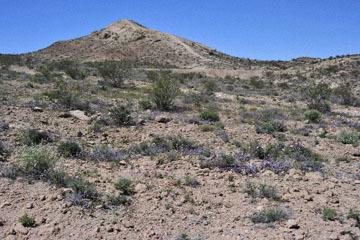 blog 9 Mojave to Death Valley, Death Valley, Phacelia, Rd. 374 Beatty, NV_DSC1882-4.5.16.(1).jpg