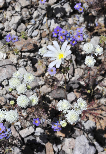 blog 9 Mojave to Death Valley, Death Valley, Desert Chicory, Twocolor Phacelia & Pincushion, Rd. 374 Beatty, NV 2_DSC1896-4.5.16.(1).jpg
