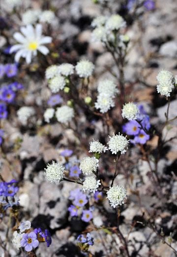 blog 9 Mojave to Death Valley, Death Valley, Desert Chicory, Twocolor Phacelia & Pincushion, Rd. 374 Beatty, NV 2_DSC1894-4.5.16.(1).jpg