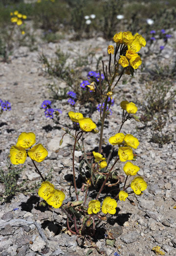 blog 9 Mojave to Death Valley, Death Valley, Yellow Evening Primrose & Twocolor Phacelia, Rd. 374 Beatty, NV_DSC1898-4.5.16.(1).jpg
