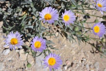 blog 9 Mojave to Death Valley, Death Valley, Desert Aster, Rd. 374 Beatty, NV_DSC1909-4.5.16.(1).jpg