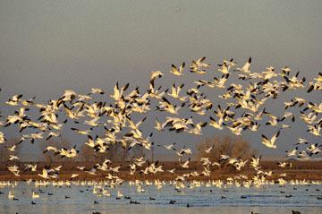 blog (6x4@300) Yoko 195 Snow Goose, Merced NWR, CA_DSC5268-12.28.16.(2).jpg