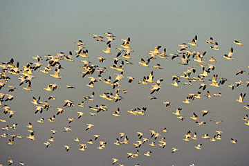 blog (6x4@300) Yoko 195 Snow Goose, Merced NWR, CA_DSC5276-12.28.16.(2).jpg