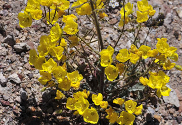 blog 9 Mojave to Death Valley, Death Valley, Yellow Evening Primrose, Rd. 374 Beatty, NV 2_DSC1933-4.5.16.(1).jpg