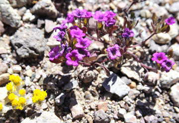 blog 9 Mojave to Death Valley, Death Valley, Purple Mat & Yellow ??, Rd. 374 Beatty, NV 2_DSC1946-4.5.16.(1).jpg