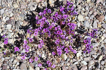 blog 9 Mojave to Death Valley, Death Valley, Purple Mat, Rd. 374 Beatty, NV_DSC1955-4.5.16.(1).jpg