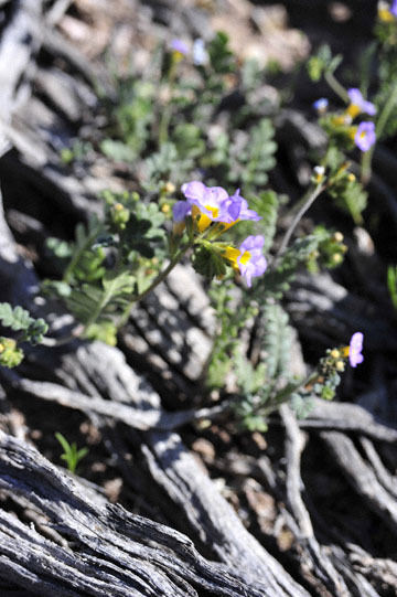 blog 9 Mojave to Death Valley, Death Valley, Daylight Pass, Twocolor Phacelia, Rd. 374, CA_DSC1978-4.5.16.(1).jpg