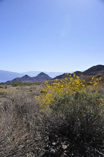 blog 9 Mojave to Death Valley, Death Valley, Daylight Pass, Brittlebush ?, CA_DSC2040-4.5.16.(1).jpg