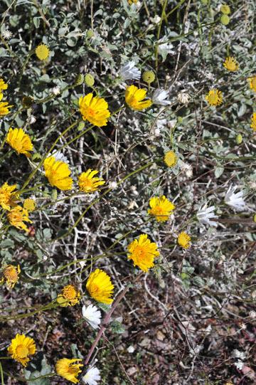 blog 9 Mojave to Death Valley, Death Valley, Daylight Pass, Brittlebush ?, CA_DSC2069-4.5.16.(1).jpg