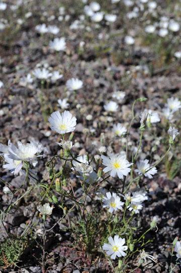 blog 9 Mojave to Death Valley, Death Valley, Daylight Pass, White Flower ?, CA_DSC2067-4.5.16.(1).jpg