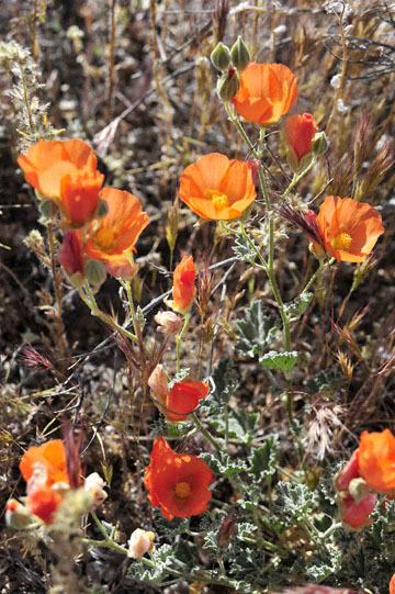 blog 10 Mojave to Death Valley, Death Valley, Daylight Pass, Desert Globemallow (Sphaeralcea ambigua), CA_DSC2115-4.5.16.(2).jpg