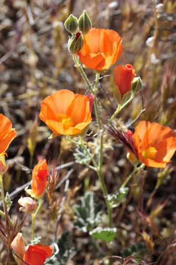blog 10 Mojave to Death Valley, Death Valley, Daylight Pass, Desert Globemallow (Sphaeralcea ambigua), CA 2_DSC2114-4.5.16.(2).jpg