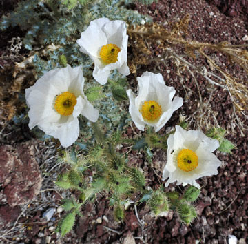 blog 11 Mojave to Death Valley, Death Valley, 190 Father Crowly's Point, Mojave Prickly Poppy (Argemone corymbosa), CA 2_DSC2182-4.6.16.(1).jpg