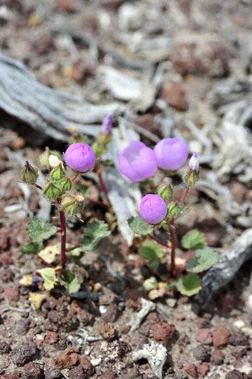 blog 11 Death Valley, 190 Father Crowly's Point, Desert Five Spot, CA_DSC2292-4.6.16.(1).jpg