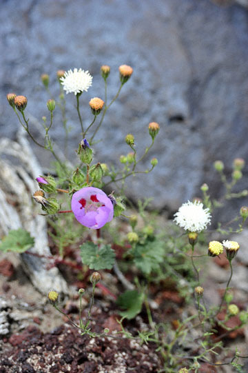 blog 11 Death Valley, 190 Father Crowly's Point, Desert Five Spot & Pincushion, CA_DSC2272-4.6.16.(1).jpg