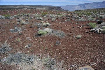 blog 11 Death Valley, 190 Father Crowly's Point, Desert Five Spot, CA_DSC2298-4.6.16.(1).jpg