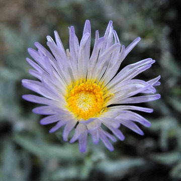 blog 11 Death Valley, 190 Father Crowly's Point, Desert Aster, CA 2_DSC2363-4.6.16.(1).jpg