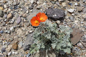 blog 12 Death Valley, Father Crowley's Point 190W, Desert Globe Mallow, CA 2_DSC2413-4.6.16.(2).jpg