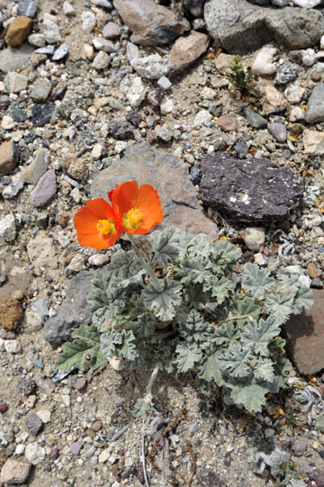 blog 12 Death Valley, Father Crowley's Point 190W, Desert Globe Mallow, CA 2_DSC2412-4.6.16.(2).jpg