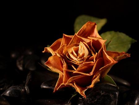 rose622.jpg