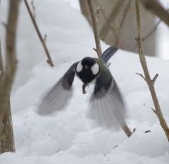 シジュウカラの羽ばたき